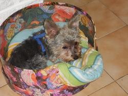 Djazz, chien Yorkshire Terrier