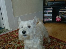 Speedy, chien West Highland White Terrier