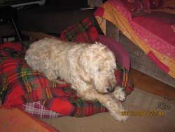 Miel, chien Griffon fauve de Bretagne