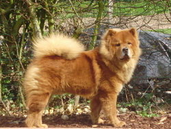 Elios, chien Chow-Chow