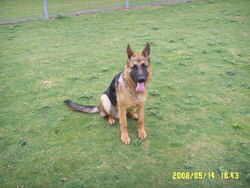Rex , chien Berger allemand