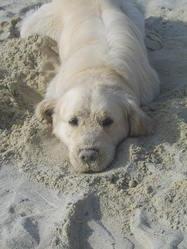 Baky, chien Golden Retriever