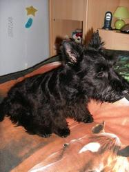 Tito, chien Scottish Terrier