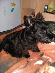Tito, chien Scottish Terrier
