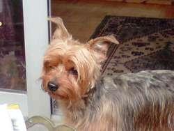 Theo, chien Silky Terrier