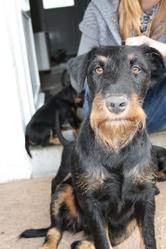 Durka, chien Jagdterrier