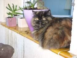 Roinita, chat Persan
