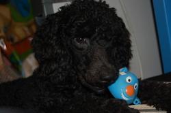 Roméo, chien Caniche
