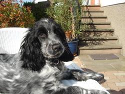 Dolly, chien Cocker anglais