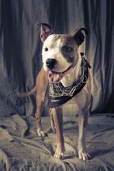 Butler, chien American Staffordshire Terrier