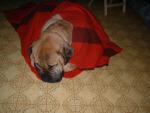Rocky, chien Bullmastiff