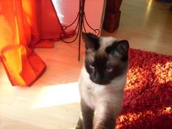Dina, chat Siamois