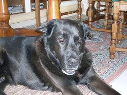 Listrac, chien Labrador Retriever