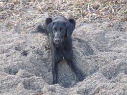 Pipa, chien