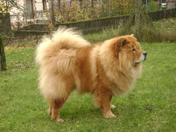 Udine Dite Gipsy, chien Chow-Chow