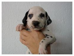 Paddy, chien Dalmatien