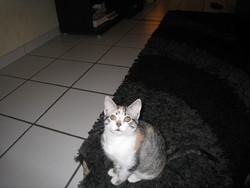 Safyra, chat Européen