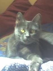Souris, chat Chartreux