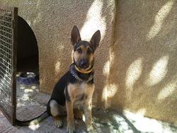 Ingo, chien Berger allemand