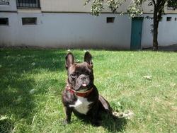 Yumi, chien Bouledogue français