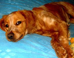 Rose, chien Épagneul breton