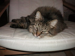 Chat-Malo, chat Maine Coon