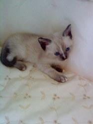 Thaendras, chat Siamois