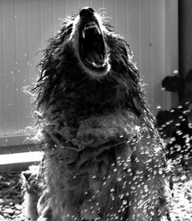 Enzo, chien Berger belge