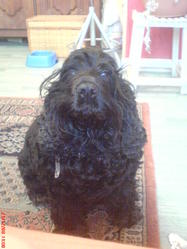 Vanille, chien Cocker anglais