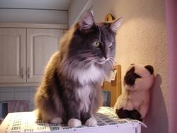 Le Chat Bruce , chat Norvégien