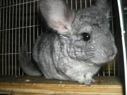 Coocki, rongeur Chinchilla
