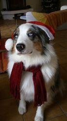 Bianca, chien Berger australien