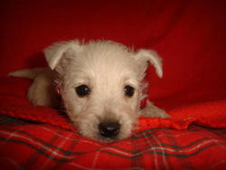 Gaia, chien West Highland White Terrier