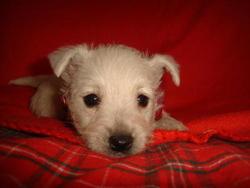 Gaia, chien West Highland White Terrier