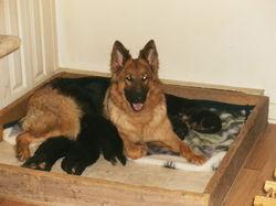 Kinta, chien Berger allemand