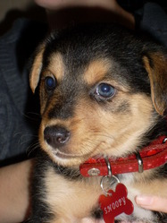Snoopy, chien Berger allemand