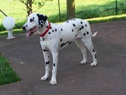 Daisy, chien Dalmatien