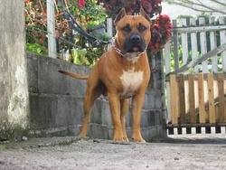 Sauron, chien American Staffordshire Terrier