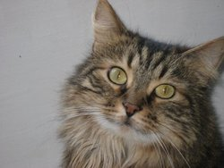 Sydney, chat Maine Coon