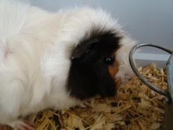 Barbouille, rongeur Cochon d'Inde