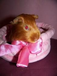 Satine, rongeur Cochon d'Inde