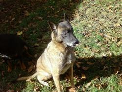 Prisca, chien Berger belge