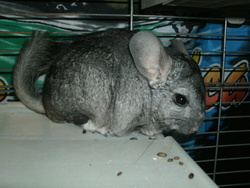 Chichon, rongeur Chinchilla
