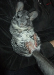 Gus, rongeur Chinchilla