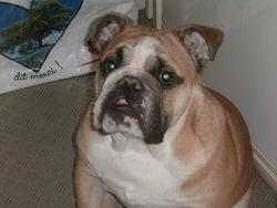 Elroy, chien Bulldog