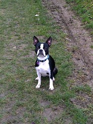 Elfi, chien Terrier de Boston