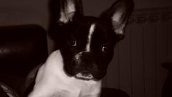 Derek, chien Bouledogue français