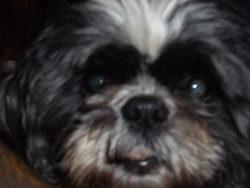 Tara, chien Shih Tzu