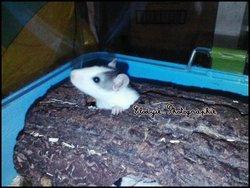 Rallye, rongeur Rat