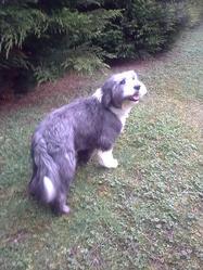 Sirius, chien Bearded Collie